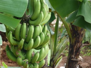 Picture of organic bananas